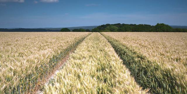 Tracks Through A Wheat Field