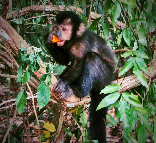 Monkey Eating Fruit 2