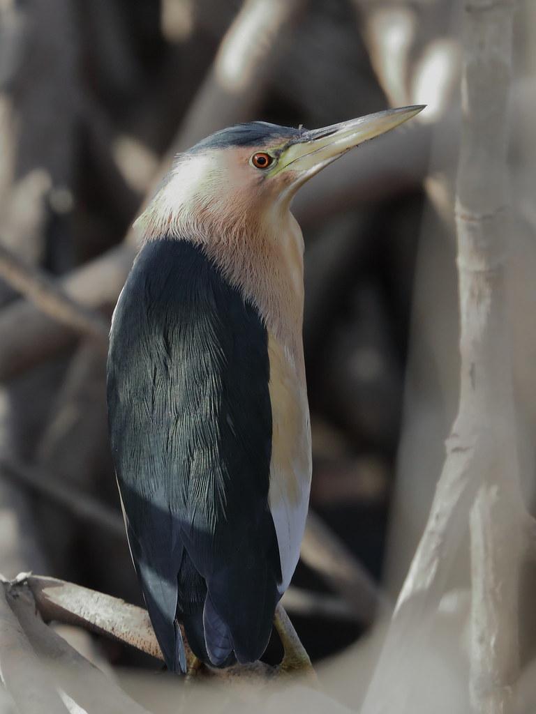 Little Bittern Ixobrychus minutus