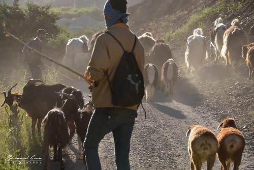 Les chèvres broutent, les moutons n'avancent et se font distancer par les yaks, vallée de Chapursan | by Photos de voyages, d'expéditions et de reportages