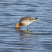 godwit by garrymoors
