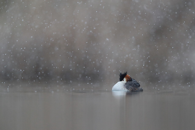 Great crested grebe caught in the snow
