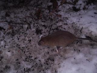 Rott sööb seemneid / Rat eating birdfood