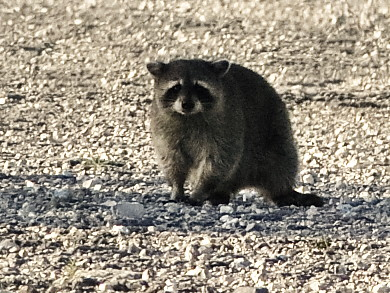 Raccoon 02-20190328