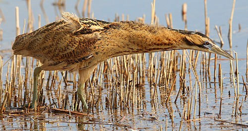 Bittern feeding along the reed margins | by Nick Goodrum Photography