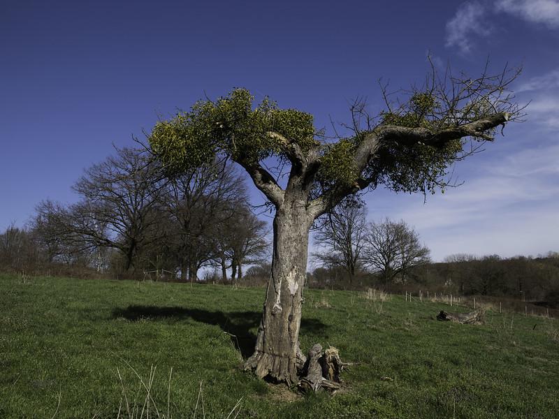 Mistletoe / Maretak (Viscum album)-819_0697