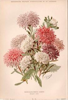 Callistephus chinensis disegno