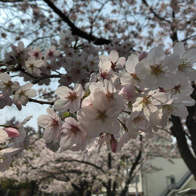 ふくふくと桜咲く。