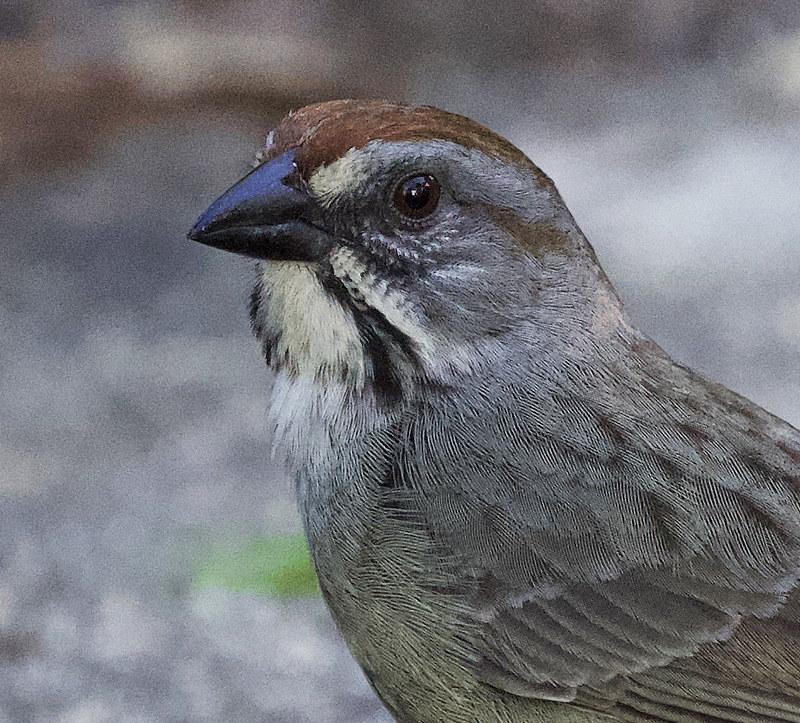 Zapata Sparrow, Torreornis inexpectata Ascanio_Cuba 199A4232 copy
