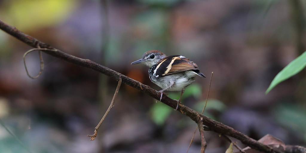 Banded Antbird