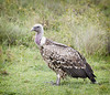RUPPELL'S GRIFFON VULTURE 1 by Nigel Bewley