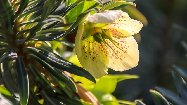 Christmas rose (Helleborus niger) - Kerstroos.