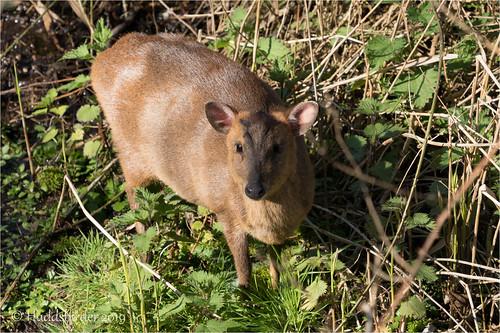 Muntjac Deer-00863