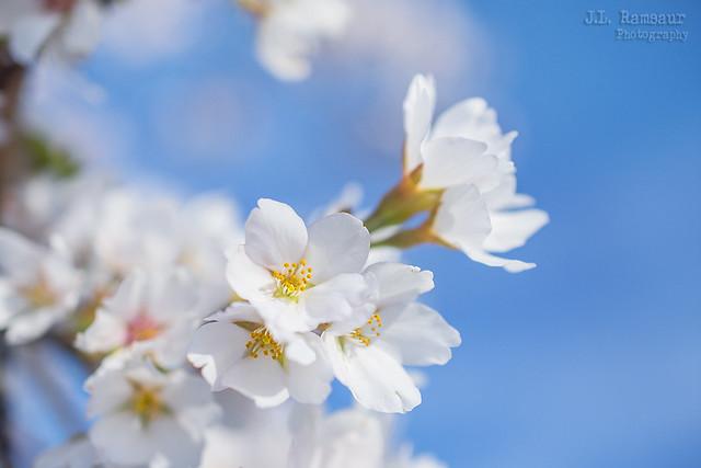 Bradford Pear Blossoms - Lebanon, Tennessee