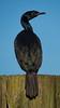 Pelagic Cormorant by Dennis Cheasebro