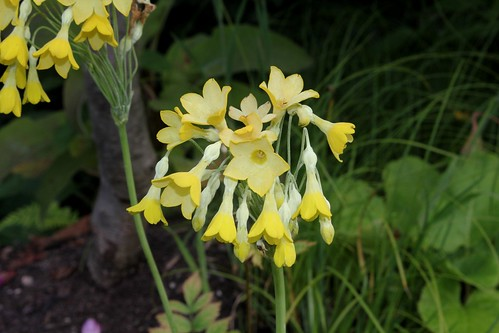 Primula florindae - primevère du Tibet 45628573975_bd43f54b76