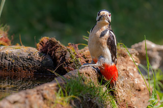 Great Spotted Woodpecker | by kulukaya