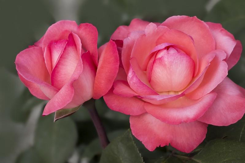 Обои макро, розы, дуэт, бутоны картинки на рабочий стол, раздел цветы - скачать
