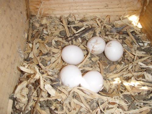 Eén van de nestjes met 5 eieren.