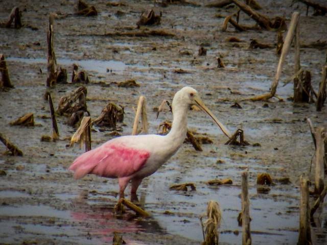 Stick Marsh Birding-004