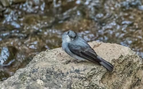birds cassinsflycatcher flycatchersother kibale kibalecommunityandswamp places uganda