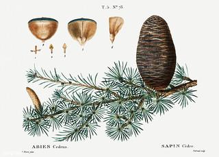 Cedar of Lebanon (Abies cedrus) illustration from Traité des Ar