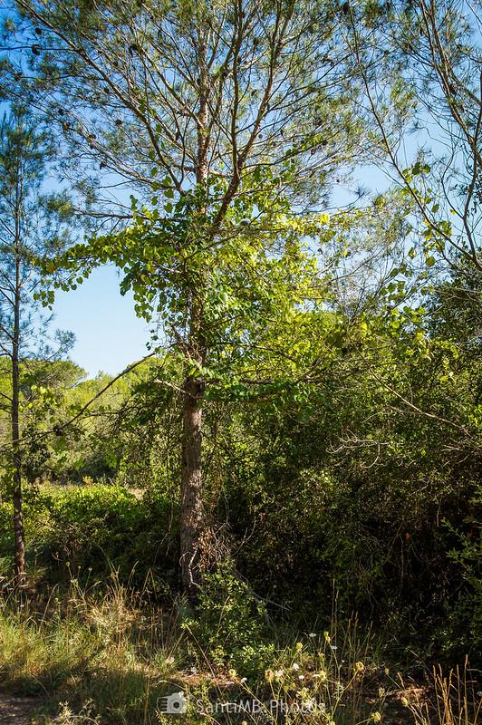 Viña silvestre emparrándose en un pino