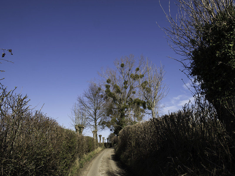 Mistletoe / Maretak (Viscum album)-819_0704