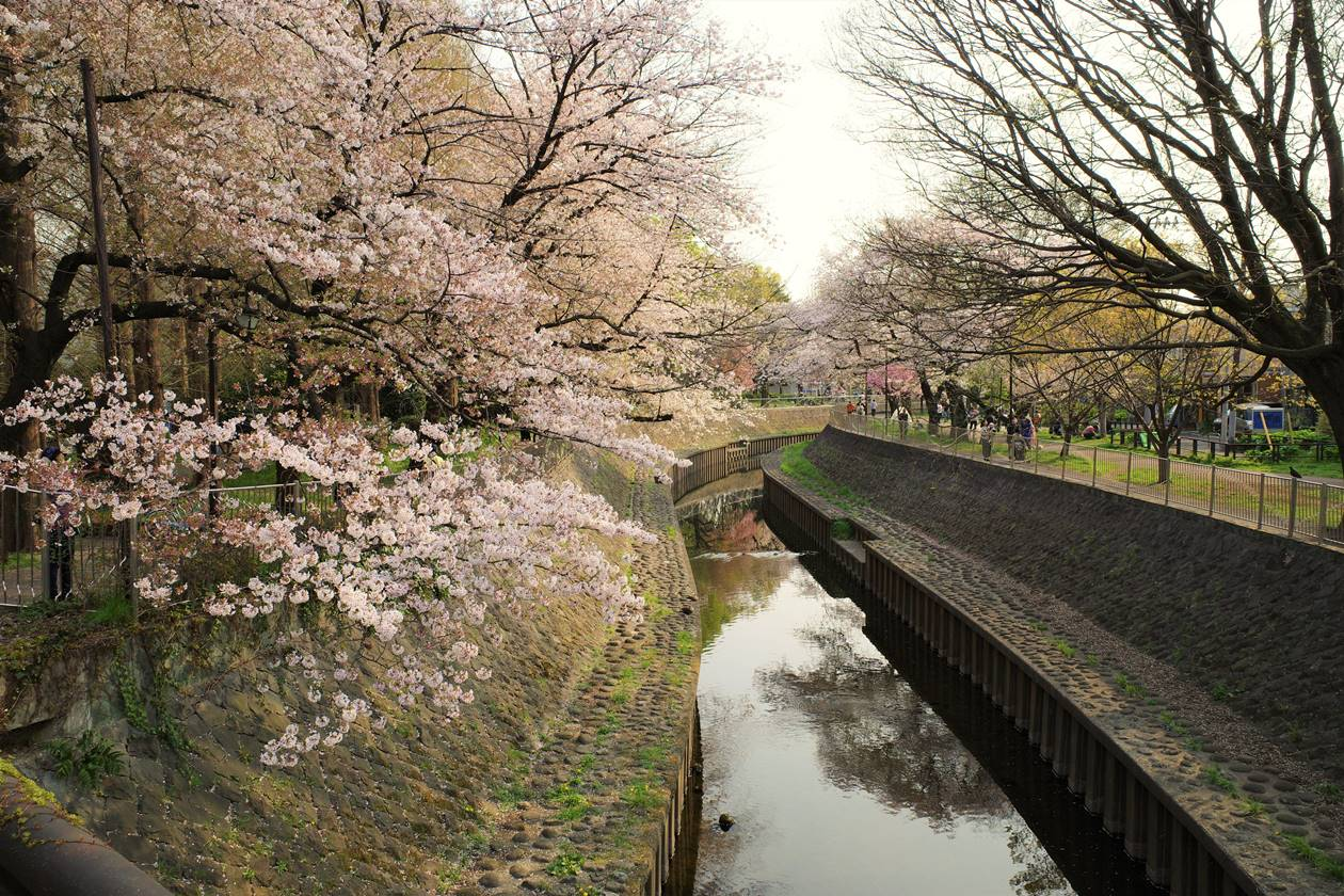善福寺川と桜