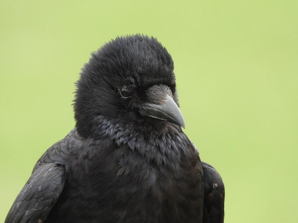 Carrion Crow, Splash Point, Apr 8 2019, P1 (15)