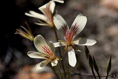 Pelargonium radiatum in wild