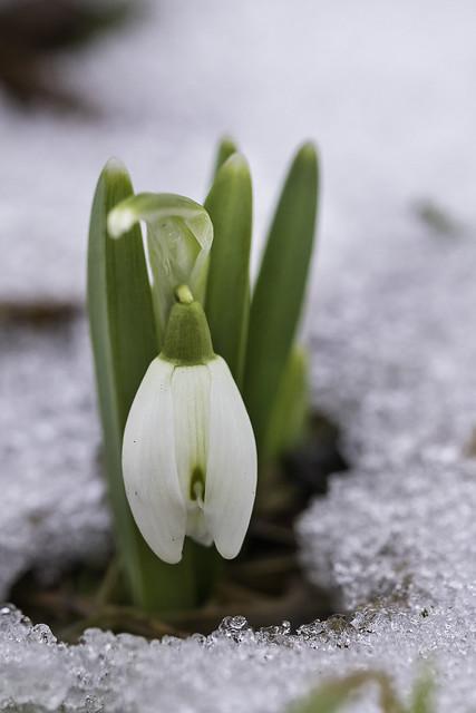 Tilluke lumikelluke/Little snowdrop