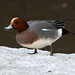 Eurasian Wigeon - Photo (c) Sergey Yeliseev, some rights reserved (CC BY-NC-ND)