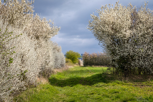 Blackthorn blossom near Bugthorpe | by www.andrewswalks.co.uk