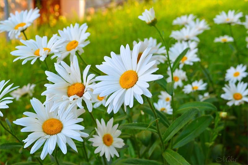 Обои Ромашки, Flowers, Camomiles картинки на рабочий стол, раздел цветы - скачать