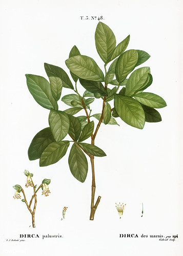 Eastern leatherwood (Dirca palustris) illustration from Traité | by Free Public Domain Illustrations by rawpixel
