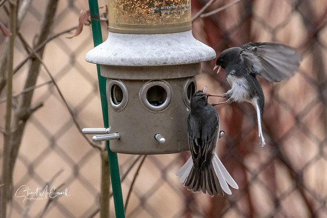 Dark eyed Junco aerial attack 2