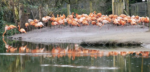 PINK FLAMINGOS - CHESTER ZOO