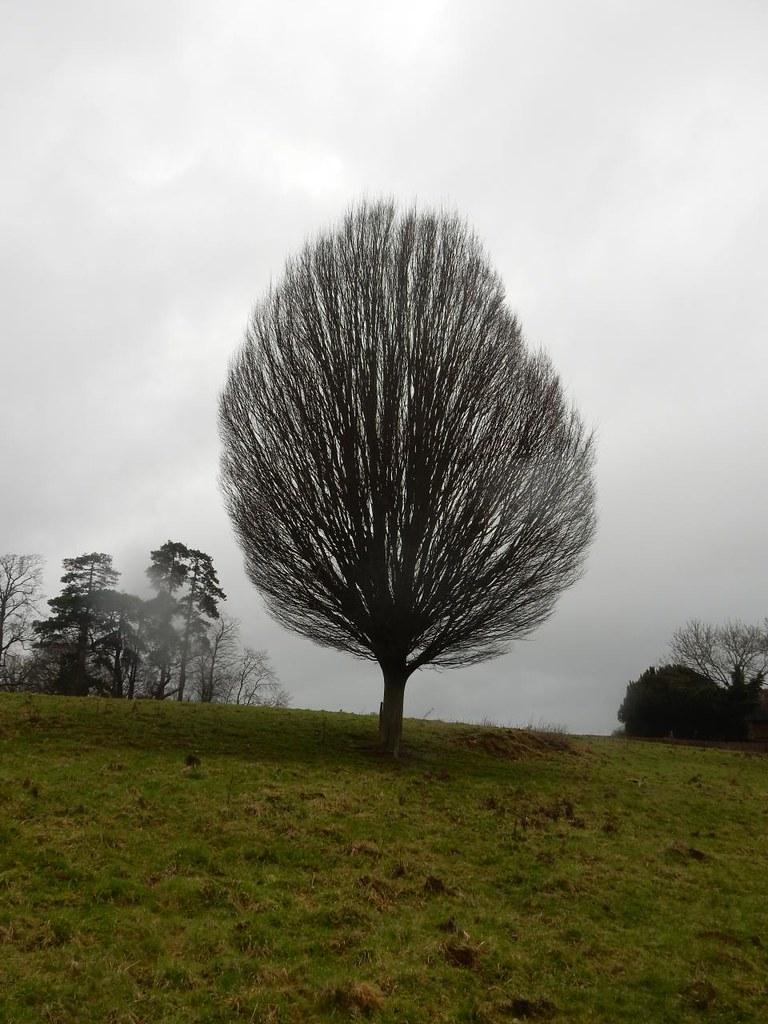 Unusual tree Holmwood to Reigate