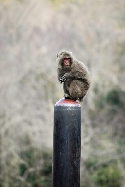 ✪寒いな~と呟くお猿さん -愛知県犬山市-