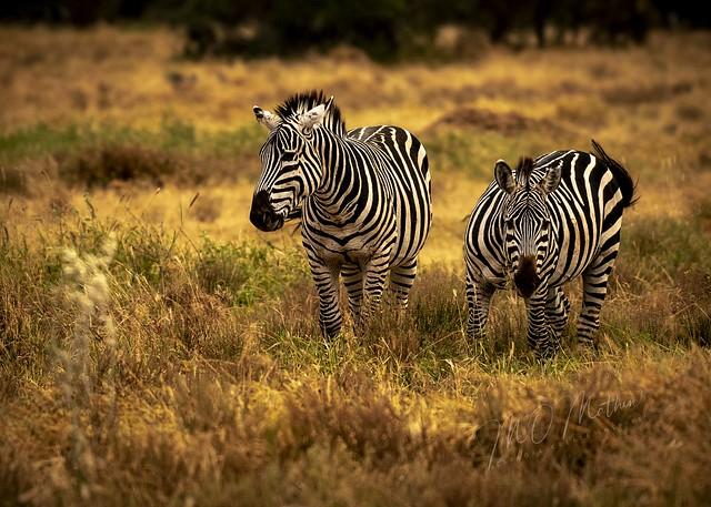 Grazing Plains zebra