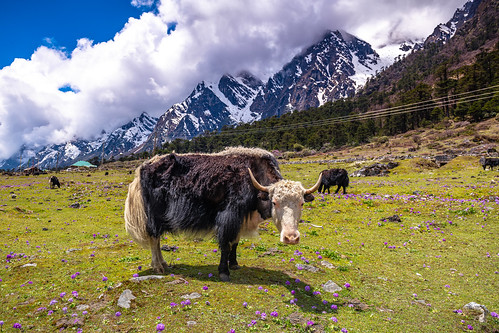 sikkimindia2018 yumthangvalleyofflowers sikkim india in