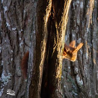 Squirel / écureuil roux