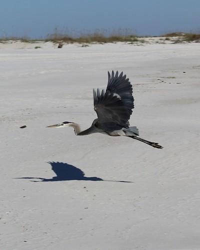 Great Blue Heron in Flight | by aafromaa
