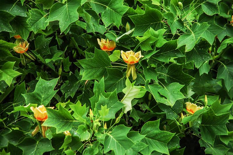 Tulip Tree (鵝掌楸) 2