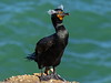 Double Crested Cormorant_25 by SamOphoto2011