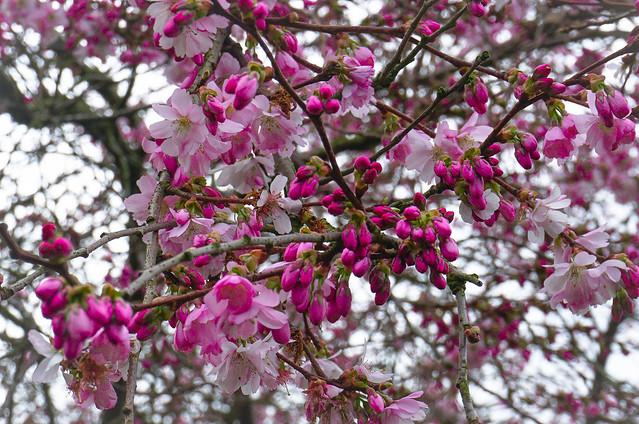 A Cherry Blossomed Sky