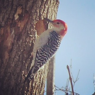 Is that a nest hole you're excavating, Mr. Woodpecker? | by Lorianne DiSabato