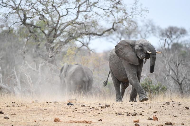 2263 Elephant