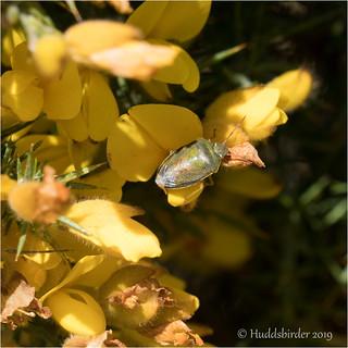 Gorse Shieldbug | by Huddsbirder